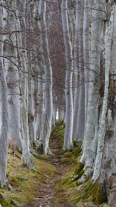 "Leochel Cushnie, Scotland She uttered the incantation and waited for the unexpected. The trees began to sway and move out of the way, leaving a clear forest path between the birches. ""Thank you,"" she whispered to the closest tree. Tree Forest, Forest Path, Birch Forest, Birch Trees, Forest Scenery, Forest Trail, Magical Forest, Forest Landscape, Forest House"
