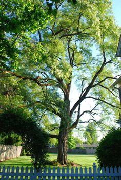 our majestic locust tree