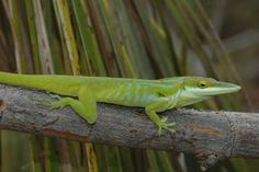 Anolis maynardi - Little Cayman Green Anole