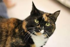 Meet Sasha, an adoptable Domestic Short Hair looking for a forever home. Cat • Domestic Short Hair • Adult • Female • Medium Open Door Animal Sanctuary House Springs, MO