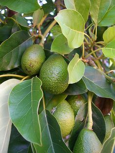 34) Own an avocado farm (or maybe just plant a tree in my backyard).
