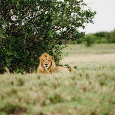 Botswana Outdoor Activities Trip Ideas Wildlife grassland mammal ecosystem grass Lion fauna tree savanna Safari masai lion big cats landscape shrubland sky terrestrial animal plant community branch