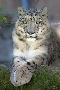 "Snow Leopards: Panthera uncia ~ ""Snow Leopard,"" by Johan Chabbert. Nature Animals, Animals And Pets, Cute Animals, Animals In The Wild, Baby Animals, Animal Babies, Fluffy Animals, Big Cats, Cats And Kittens"