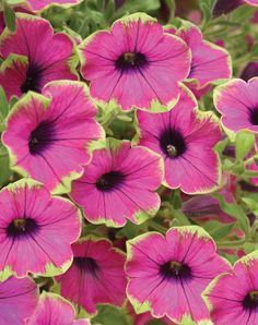 Proven Winners Supertunia 'Pretty Much Picasso'... I had ones like this last year and just loved the green edges!