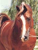 ... Arabian Horses, Stallions,