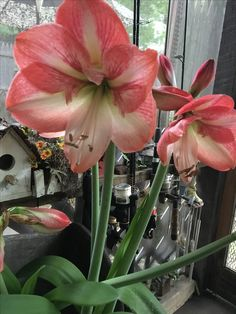 My favorite Amaryllis color.  Spring of 2016
