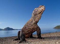 Komodo Island with Nice animal... Komodo Dragon...