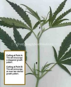 Growing Weed Tips for Beginners