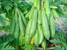 Amazon.com : 20+ Seeds Thai Organic Papaya (KEAKDUM) Seeds, Giant Papaya Tree Seeds, Vegetable Seeds, Organic Fruit Seeds Plant (Non GMO), Perfect for Home Garden. (Free : Thai Organic Seeds 1 Package) : Garden & Outdoor