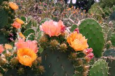 Prickly pear cacti in bloom.