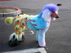 Peacock Poodle. This is the most ridiculous thing! At least make them look tough, or cool....I mean they're already poodles for crying out loud!