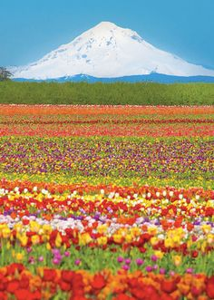 Mount Hood overlooking the Wooden Shoe Tulip Farm, Woodburn, Oregon.