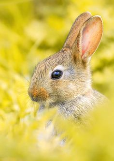 Young rabbit. Photo by Stephan Jansson