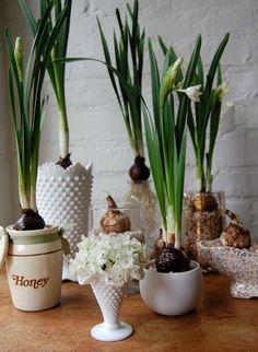 Paperwhites & hyacinth in vintage Fenton milk glass