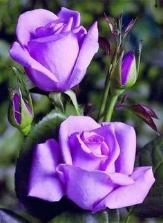 """Rose purple  ......... I CAN REMEMBER A WOODIE ALLEN MOVIE WITH MIA FARROW -- """"THE PURPLE ROSE OF CAIRO""""....... ccp"""