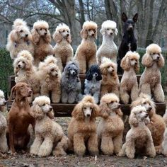 Poodles!  The best dogs in the world!