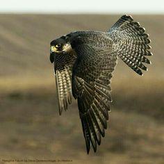 "The Sweet Balance of In Between: musings on the Rumi poem ""Birdwings"" Birds Of Prey, American Flag Drawing, I Like Birds, Peregrine Falcon, Wings Design, Kestrel, Bird Perch, Colorful Birds, Parakeet"