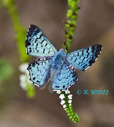 Blue Metalmark (Lasaia sula) ~~Blue Metalmark (Lasaia sula) butterfly by kaeagles~~ Butterfly Kisses, Butterfly Flowers, Butterfly Wings, Butterfly Mobile, Paper Butterflies, Beautiful Bugs, Beautiful Butterflies, Butterfly Template, Crown Template