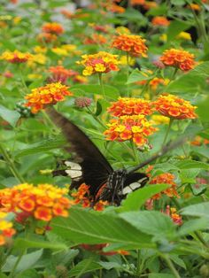 Lantana is like a butterfly magnet...