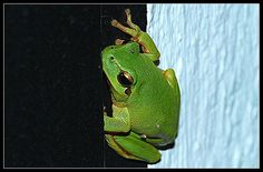 Small green frog with a great BIG voice.
