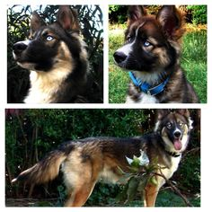 I am in love with this dog... I'll take 10 please... Gerberian shepsky (German shepherd/Siberian husky mix)