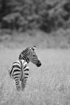 Zebra stripes for peace!