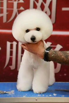 """Discover even more information on """"Poodle dogs"""". Look at our site. Dog Grooming Styles, Poodle Grooming, Pet Grooming, Pet Shop, I Love Dogs, Cute Dogs, Dog Haircuts, Dog Hairstyles, Japanese Dogs"""