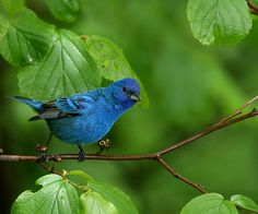 indigo bunting - One like this was on my feeder this morning.  I did not take this photo.