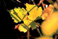 Sănătate din frunza de viță de vie | Retete culinare, Ghid culinar - eCuisine