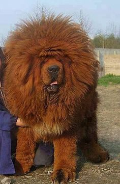 Wow! now that is a huge dog.
