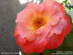 New Rose In My Garden – 'Colorific' Floribunda | The Redneck Rosarian