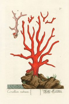 Elizabeth Blackwell Herbarium Prints 1757