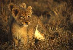 Sunrise Lion cubs by Rudi Hulshof - Photo 73250965 - 500px