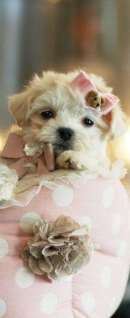 Morkie Puppies For Sale Morkie Puppies For Sale, Teacup Puppies, Cute Puppies, Teacup Maltipoo, Dogs And Puppies, Maltipoo Puppies, Pet Dogs, Dog Cat, Pets