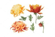 Set of watercolor chrysanthemum by Curly family on Creative Market