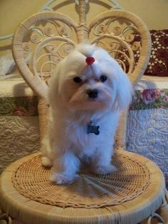 Rescued Maltese 2012 Remy