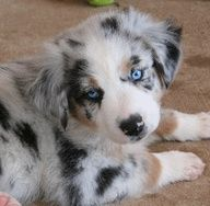 Australian Shepherd puppy...This reminds me of Jens puppy Camo. so soft and so cute!!! Love that dog!! Hes not so small anymore, but still just as soft and cute!