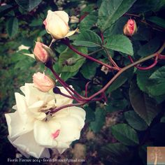 Rose del giardino