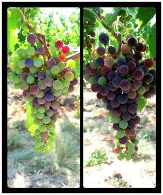 Walla Walla Winery
