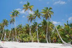 Martinique, la cocoteraie de l'Anse Michel..
