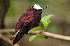 Snowcap, Microchera albocoronata. Central America