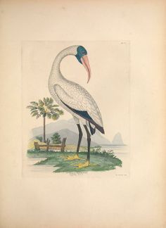 Illustrations of the American ornithology of Alexander Wilson and Charles Lucian Bonaparte : - Biodiversity Heritage Library