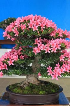 Beautiful Azalea Bonsai
