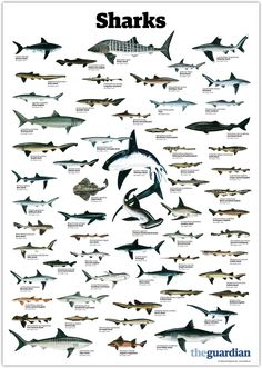 "trynottodrown: ""a few different shark species (full size) """