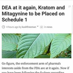 #Kratom is now facing being listed as a Schedule 1 drug by the DEA. For more information, see the link in my biography. If you create an account and upvote, you earn money, and so does the author (Kush Freeman, in this case), so I advise that you do so if you like the content of this article. #steemit #WarOnDrugs #EndTheWarOnDrugs #endtheprohibition