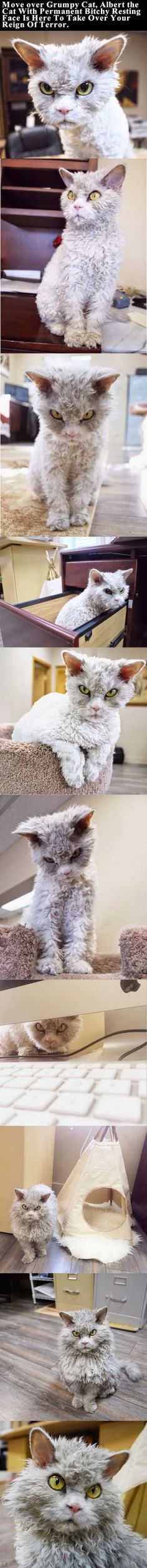 Move over Grumpy Cat, Albert the Cat With Permanent Bitchy Resting Face is here to take over your reign of terror cute animals cat cats adorable animal kittens pets lol kitten humor funny pictures funny animals funny cats