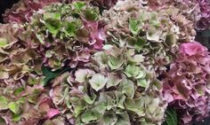 #Hydrangea #Hortensia #RodeoClassic ; Available at www.barendsen.nl