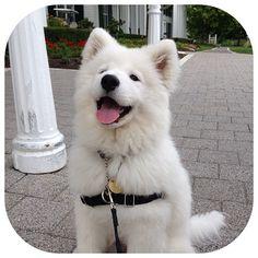 Samoyed Puppy, my mom loves this type of dog.
