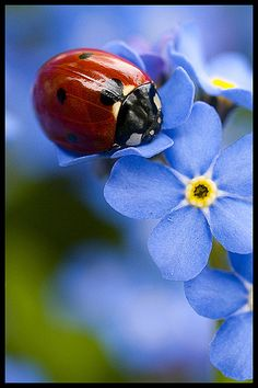 Ladybug resting on some tiny blue flowers