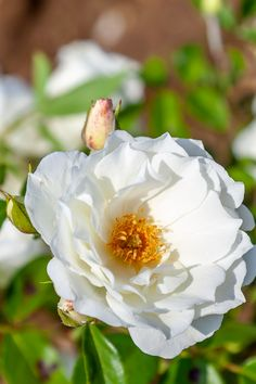 Yellow Flowers, Pink Yellow, Rose Care, Popular Flowers, Hardy Plants, Flower Stands, Love Rose, Growing Flowers, White Roses